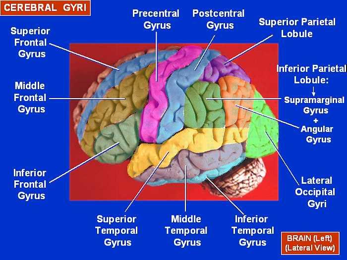 Мозъчни гънки - странична повърхност